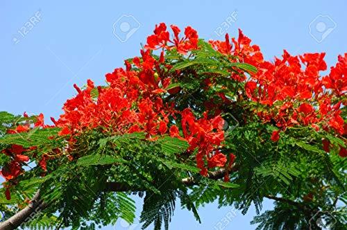 FlammenbaumBienenfreundlich10 SamenSeltene rote Prachtblüteexotische Pflanze