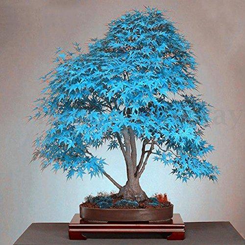 Soteer 20 Stück Japanischer Ahorne Samen Topfpflanzen Same Seltene Ahorn-Baum Saatgut winterhart mehrjährig